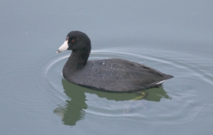 American Coot Pictures