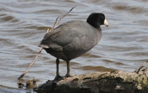 American Coot Full HD