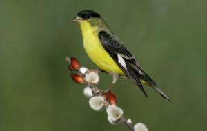 American Goldfinch Background