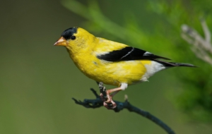 American Goldfinch Computer Wallpaper