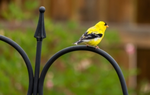American Goldfinch HD Background