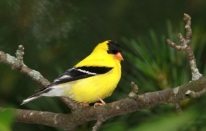 American Goldfinch HD Wallpaper