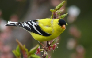 American Goldfinch High Quality Wallpapers