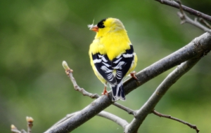 American Goldfinch Photos