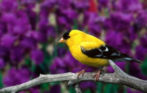American Goldfinch Pictures