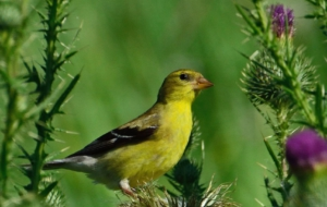 American Goldfinch Wallpapers