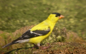 American Goldfinch Wallpapers HD