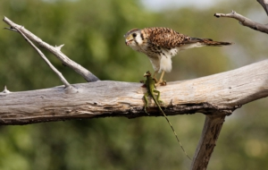 American Kestrel Background