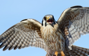 American Kestrel Computer Wallpaper