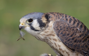 American Kestrel HD Wallpaper