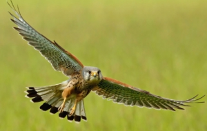 American Kestrel Wallpapers
