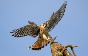 American Kestrel Widescreen