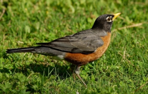 American Robin Background