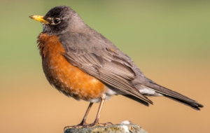 American Robin HD Wallpaper