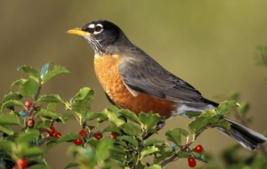 American Robin High Definition Wallpapers