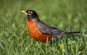 American Robin High Quality Wallpapers