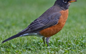 American Robin Images