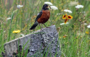 American Robin Photos