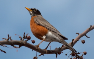 American Robin Wallpapers