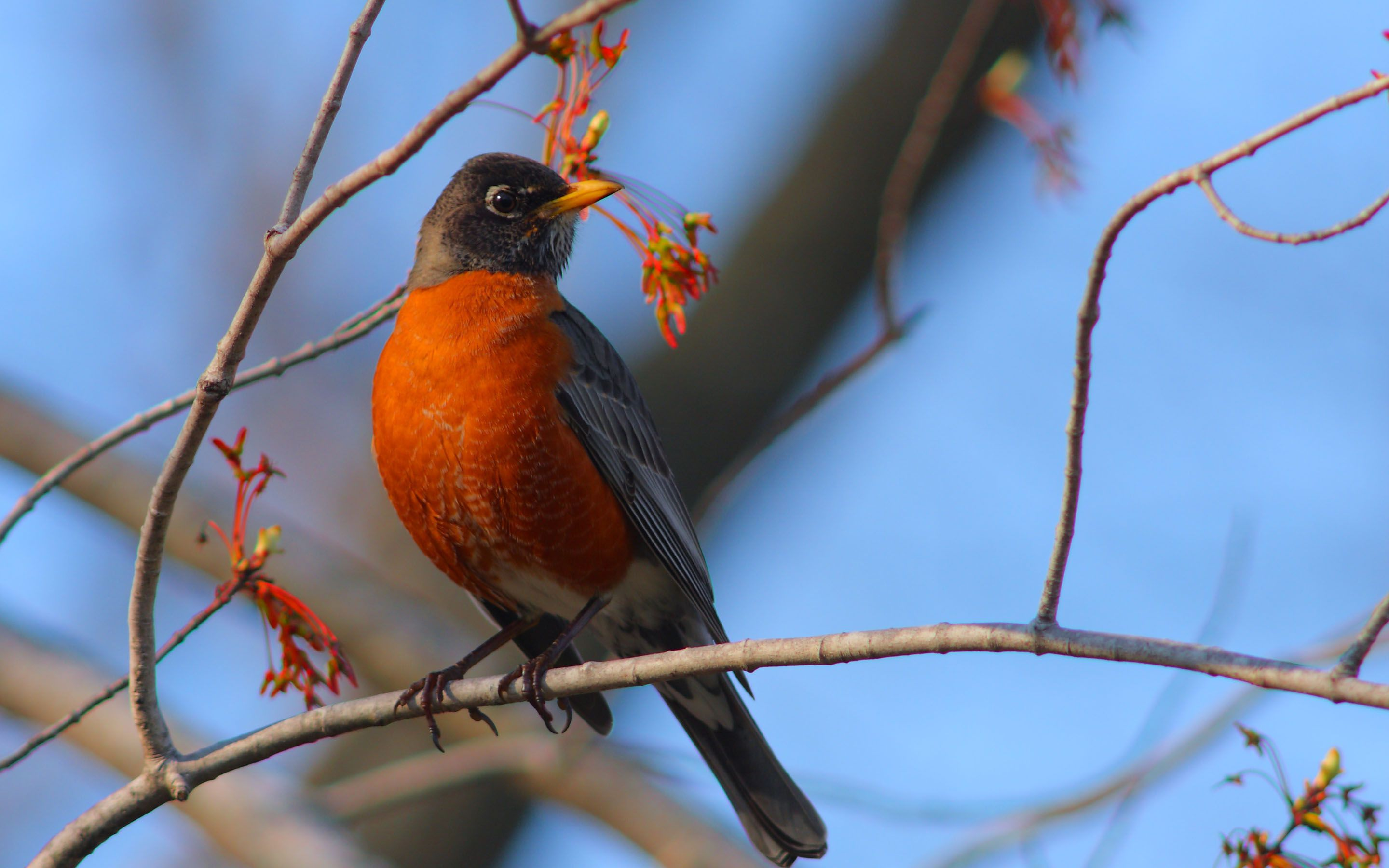 American Robin Wallpapers Backgrounds