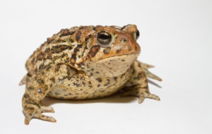 American Toad 4K