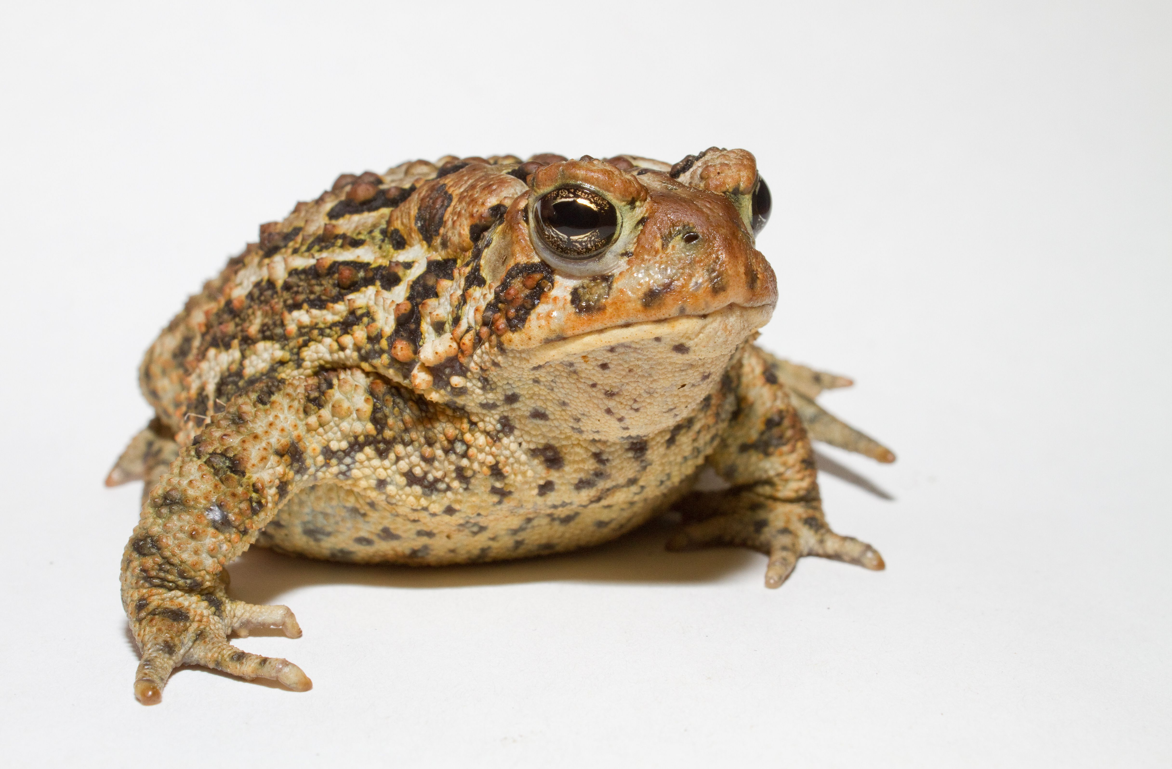 American Toad Wallpapers Backgrounds