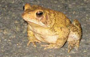 American Toad Computer Backgrounds