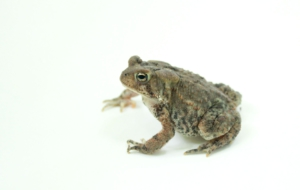 American Toad HD