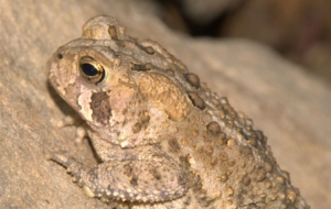 American Toad HD Wallpaper