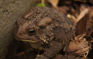 American Toad High Definition