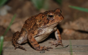 American Toad For Desktop