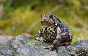 American Toad Full HD