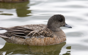 American Wigeon HD Wallpaper