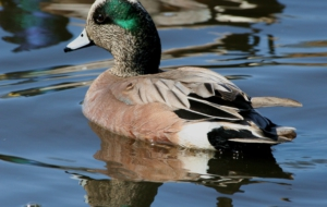 American Wigeon High Quality Wallpapers