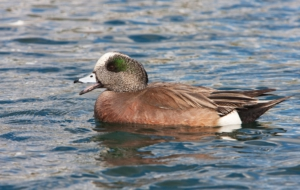 American Wigeon Wallpapers
