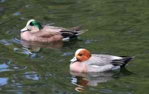 American Wigeon Wallpapers HD