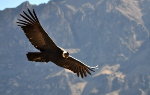 Andean Condor Background