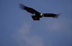 Andean Condor High Quality Wallpapers