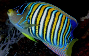 Angelfish High Definition Wallpapers