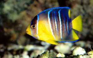 Angelfish High Quality Wallpapers