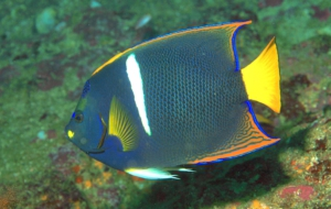 Angelfish Images