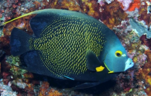 Angelfish Wallpapers