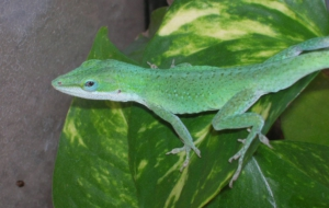Anole Background