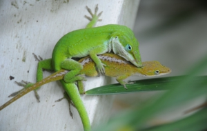 Anole HD Background
