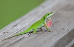 Anole HD Wallpaper