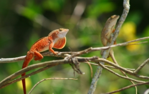 Anole High Definition