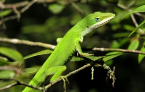 Anole High Quality Wallpapers