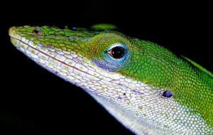 Anole Photos