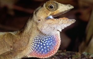 Anole Wallpapers