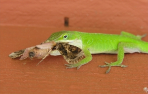 Anole Wallpapers HD